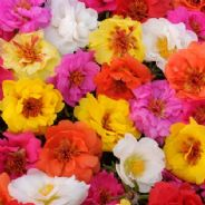 Portulaca Happy Trails Mix - Trailing / Basket type - 50 seeds